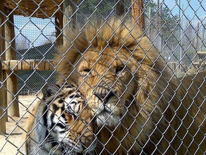 Perhaps a young tiger or a tigress.