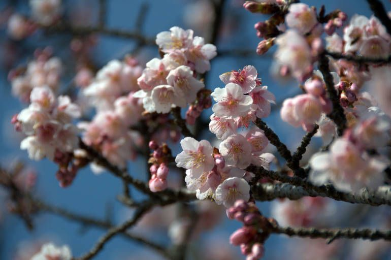 Plum blossom info