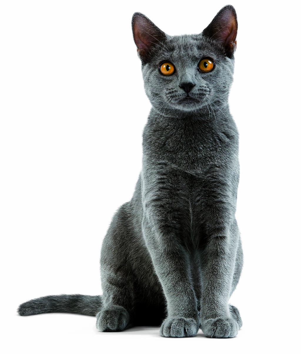 Chartreux cat Dog Portrait Pinterest