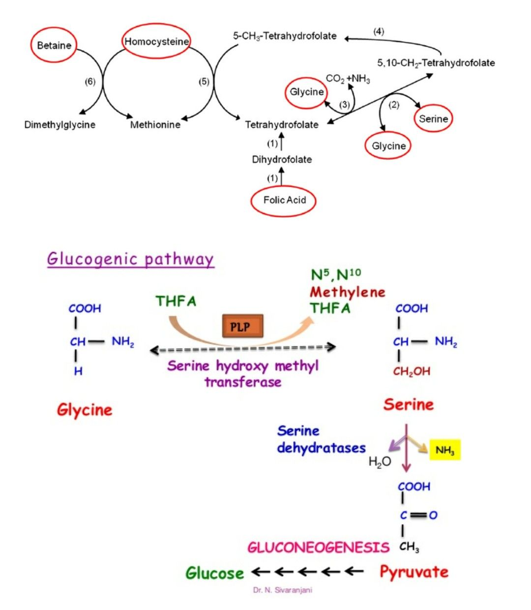 Pin On Biochemistry Cycles
