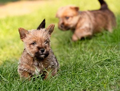 Pictures Of Cairn Terrier Puppies Google Search Cairn Terrier