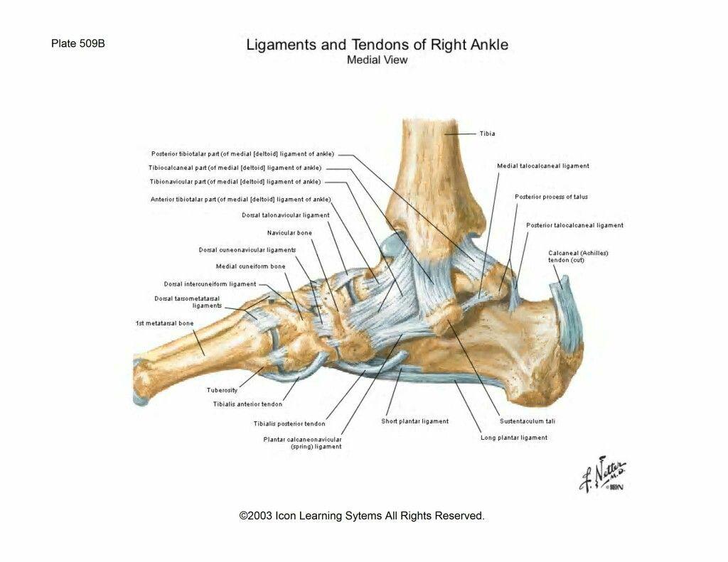 Tarsal Bones & Ligaments | Bones | Pinterest | Ankle ... Tarsal