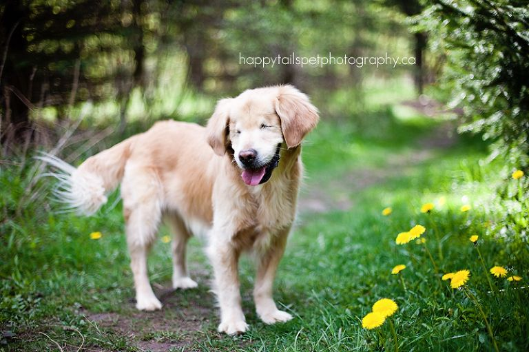 Blind Golden Retriever Smiley By Happy Tails Pet Photography