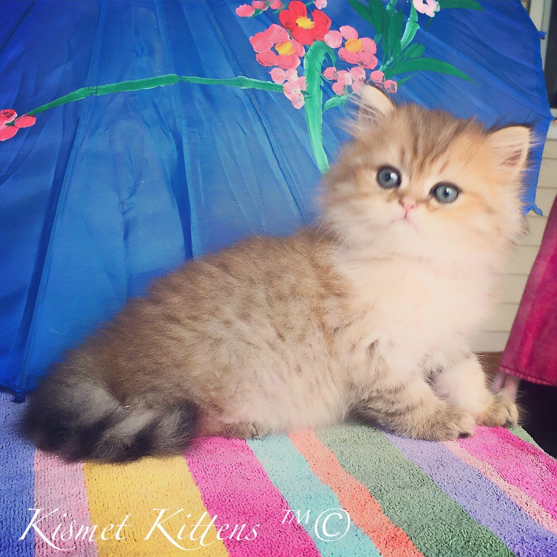 Kismet Kittens For Golden Chinchilla Shaded Doll Face Persian Kitten With Green Eyes Male Ready Persian Cat Doll Face Persian Kittens Teacup Persian Kittens