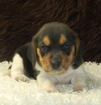 Mini Beagle Puppies For Sale New Litter 7 Males Beagle Puppy