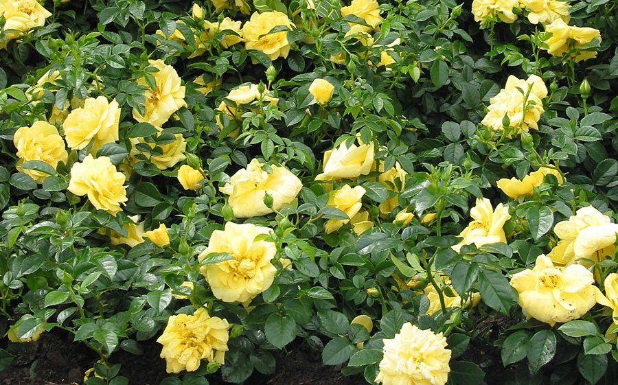 Flower carpet yellow rose monrovia flower carpet yellow rose flower carpet yellow rose monrovia flower carpet yellow rose mightylinksfo