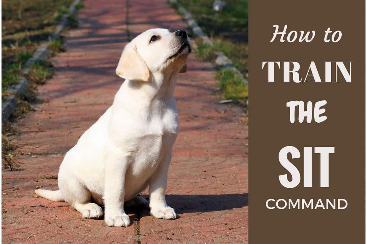 How To Train A Lab Puppy Sit And Stay Labrador Training Labrador Puppy Lab Puppy