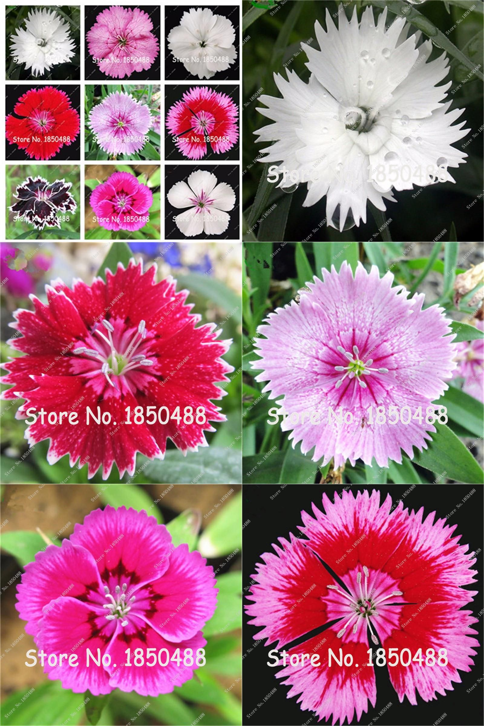 Visit to buy new arrival carnation seeds balcony potted courtyard cheap flower seeds buy quality carnation seeds directly from china garden plants suppliers new arrival izmirmasajfo