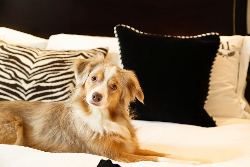 Laika Enjoying Luxury Hotel 41 Australian Shepherd Dogs