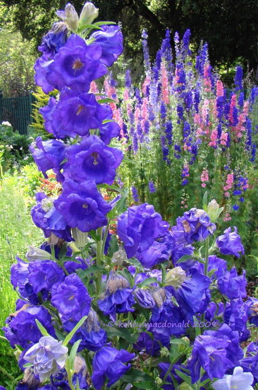 Full Size Picture Of Canterbury Bells Blue Cup And Saucer Caerulea Campanula Medium Var Calycanthema Flower Garden Plans Flower Garden Planting Flowers