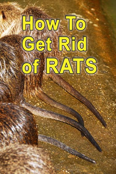 How to Get Rid of Rats   Getting rid of rats, Rats ...