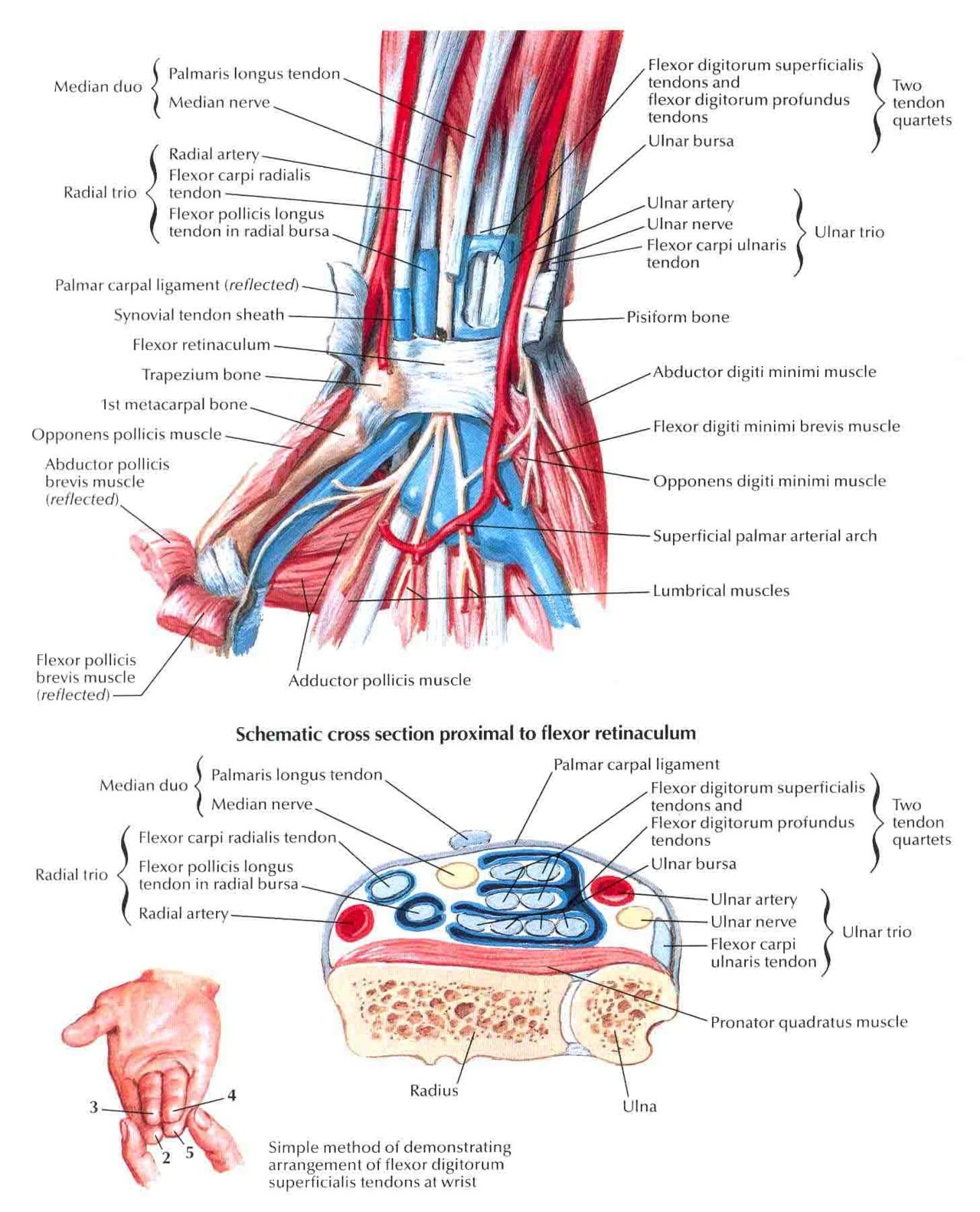 Massage Technique Diagram Labeling Animal Cell For 7th Grade Anatomy Of The Wrist Future Nurse
