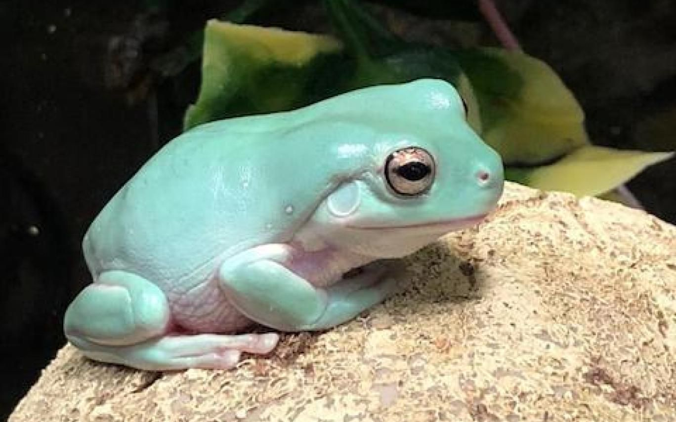White's Tree Frog   Whites tree frog, Pet frogs, Tree frogs