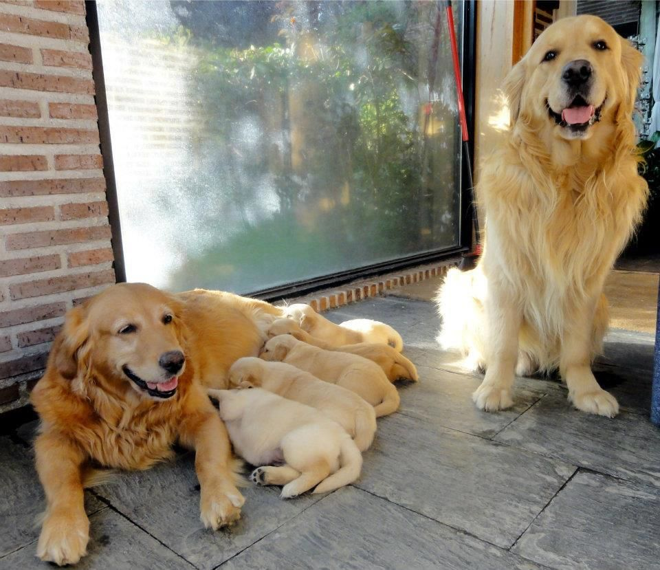 Happy Family Baby Dogs Dogs Golden Retriever Dogs