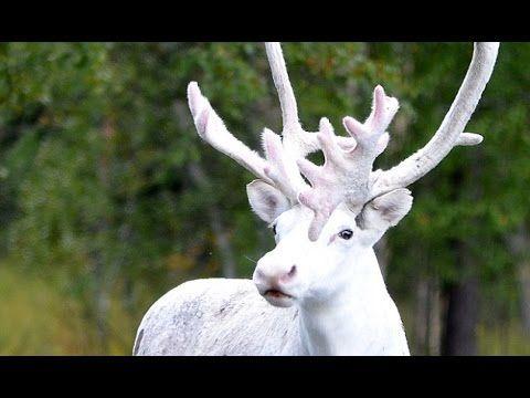 Tuvo que frenar en seco cuando vio que un extraño reno albino se le cruzó en la carretera | Upsocl