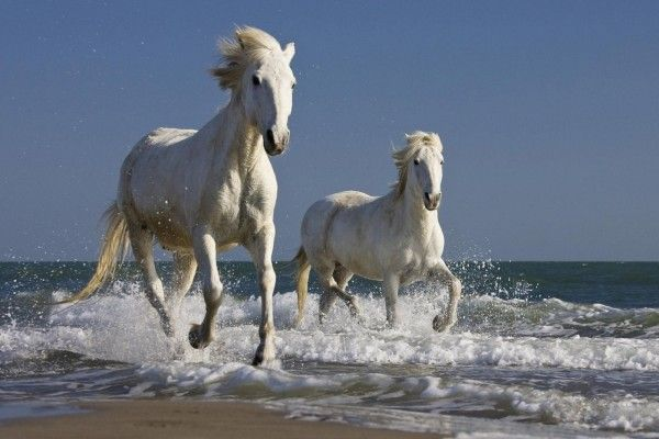 Dos Caballos Blancos Corriendo Por Una Playa Imagenes De Caballos Finos Razas De Caballos Caballos De Carreras
