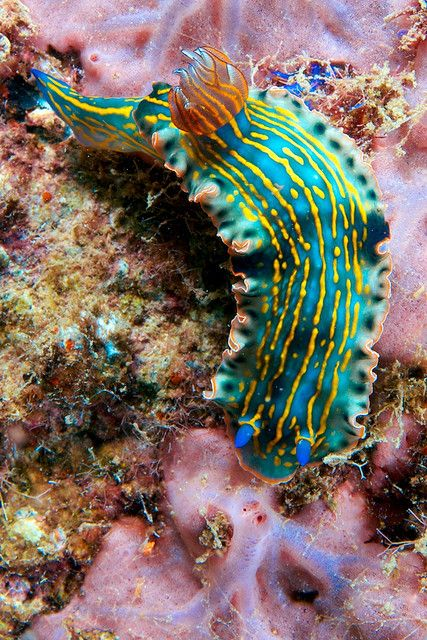 Nudibranch by tornicoqui www.flowcheck.es  Taller de equipos de buceo #buceo #scuba #dive