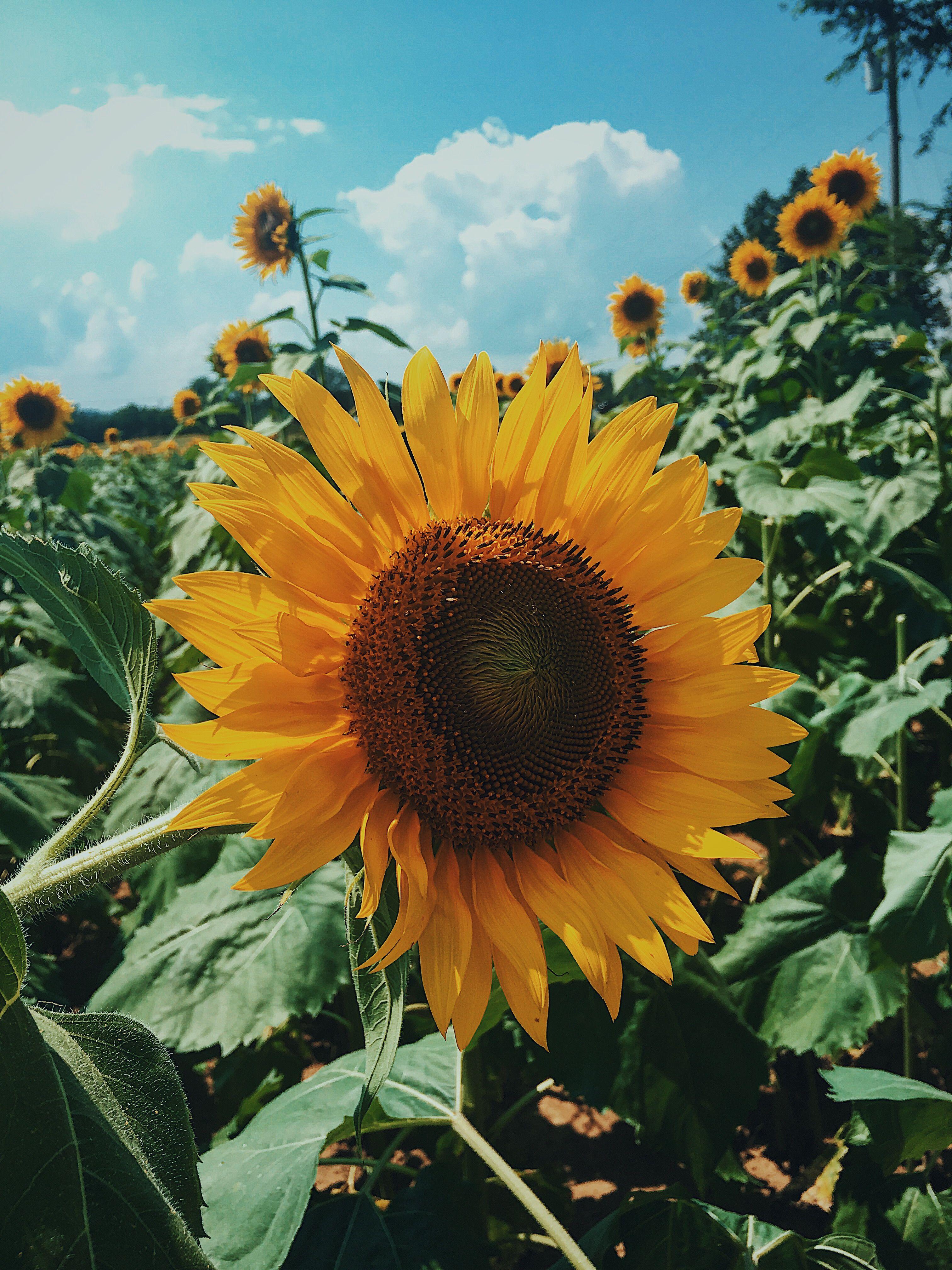 Sunflower Sunflower pictures