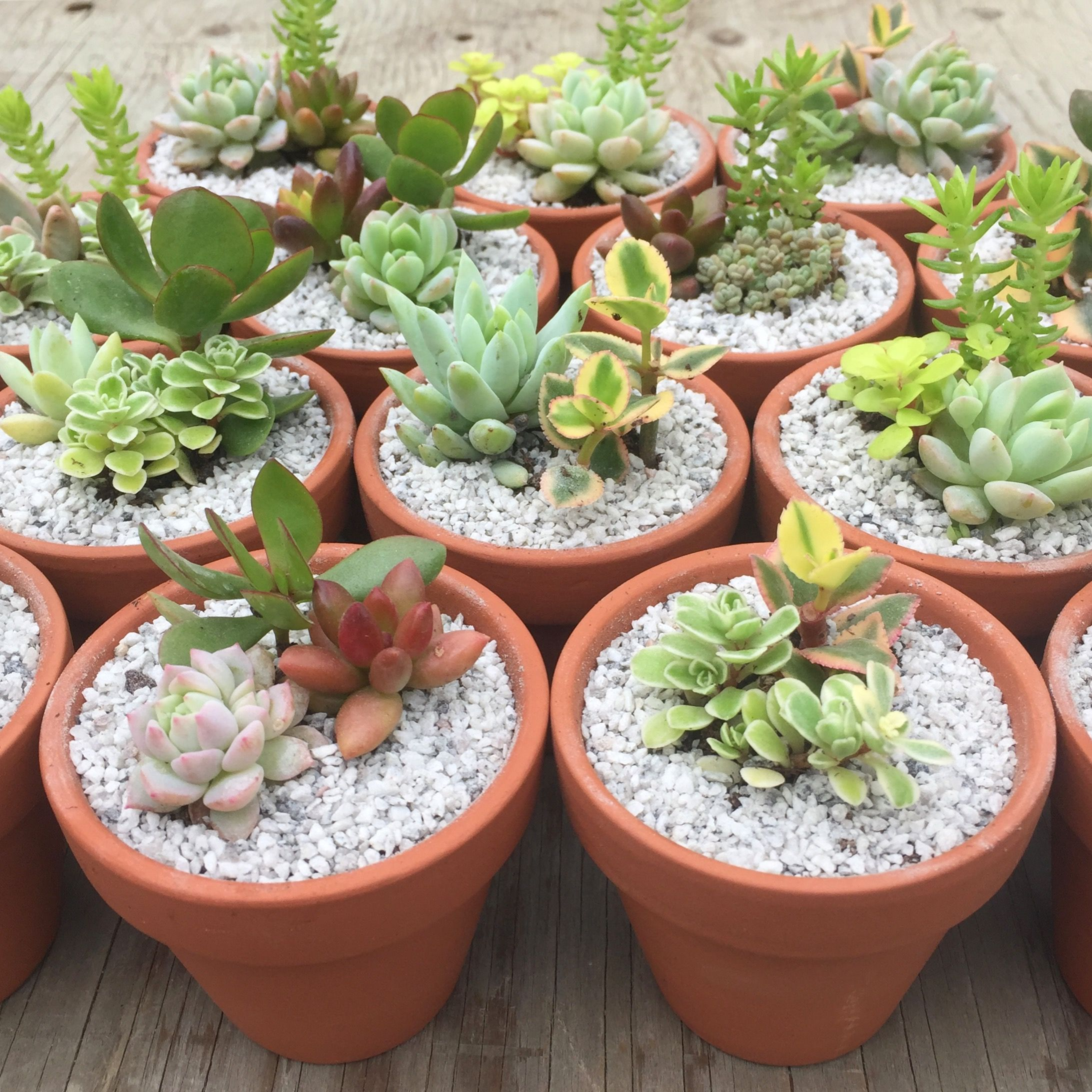 Succulent Wedding Favours in terracotta pots! Succulent