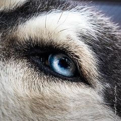 Husky's Eye #sigma50mmArt #CanonPhotography - Husky - #husky Lucien Schilling posted a photo: Processed in Lightroom Classic and Color Efex Pro.