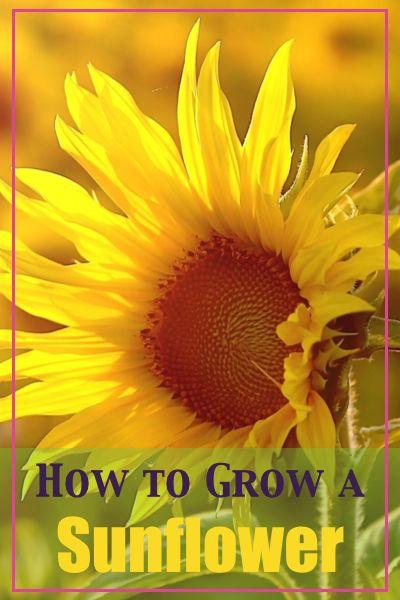 How to Grow a Sunflower - GoodGirlGoneGreen.com #sunflower #garden #gardening #spring #flower