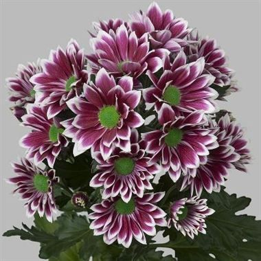 Chrysanthemums Firmenich Wholesale Flowers Florist Supplies Uk Wholesale Flowers Chrysanthemum Florist Supplies