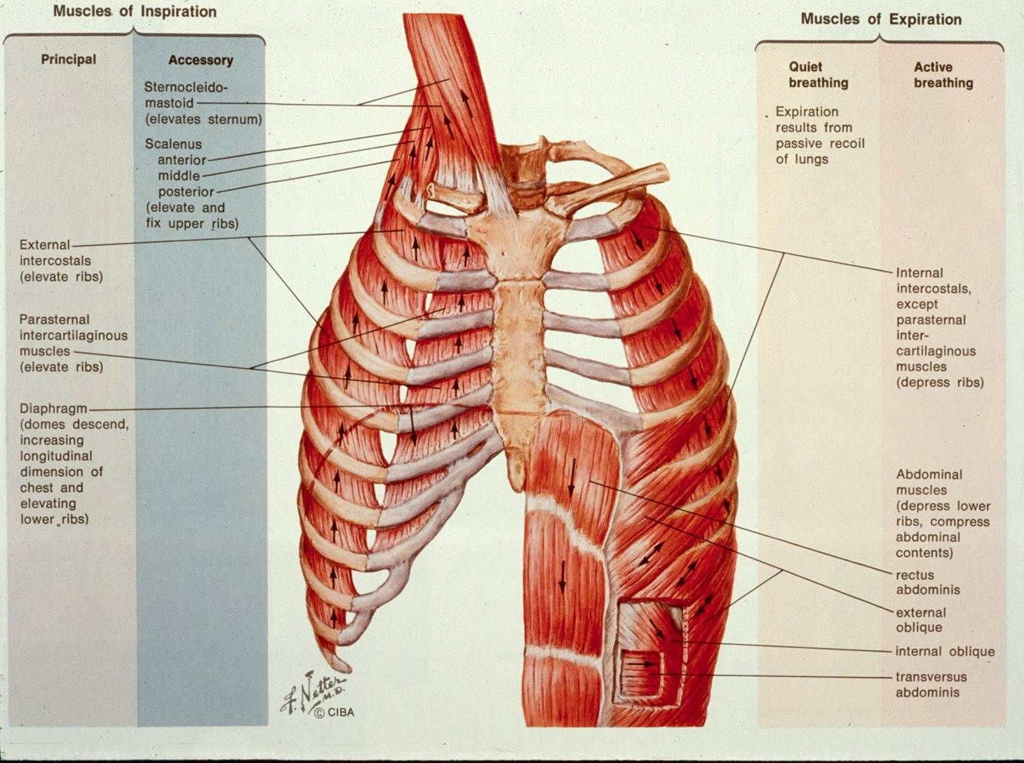 lung anatomy netter - Google Search | Anatomy | Pinterest | Lungs ...