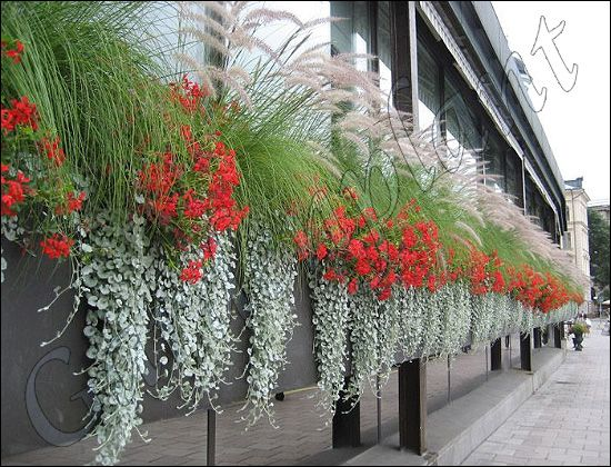 Znalezione Obrazy Dla Zapytania Dichondra Srebrzysta Window Box Plants Hanging Garden Garden Irrigation System