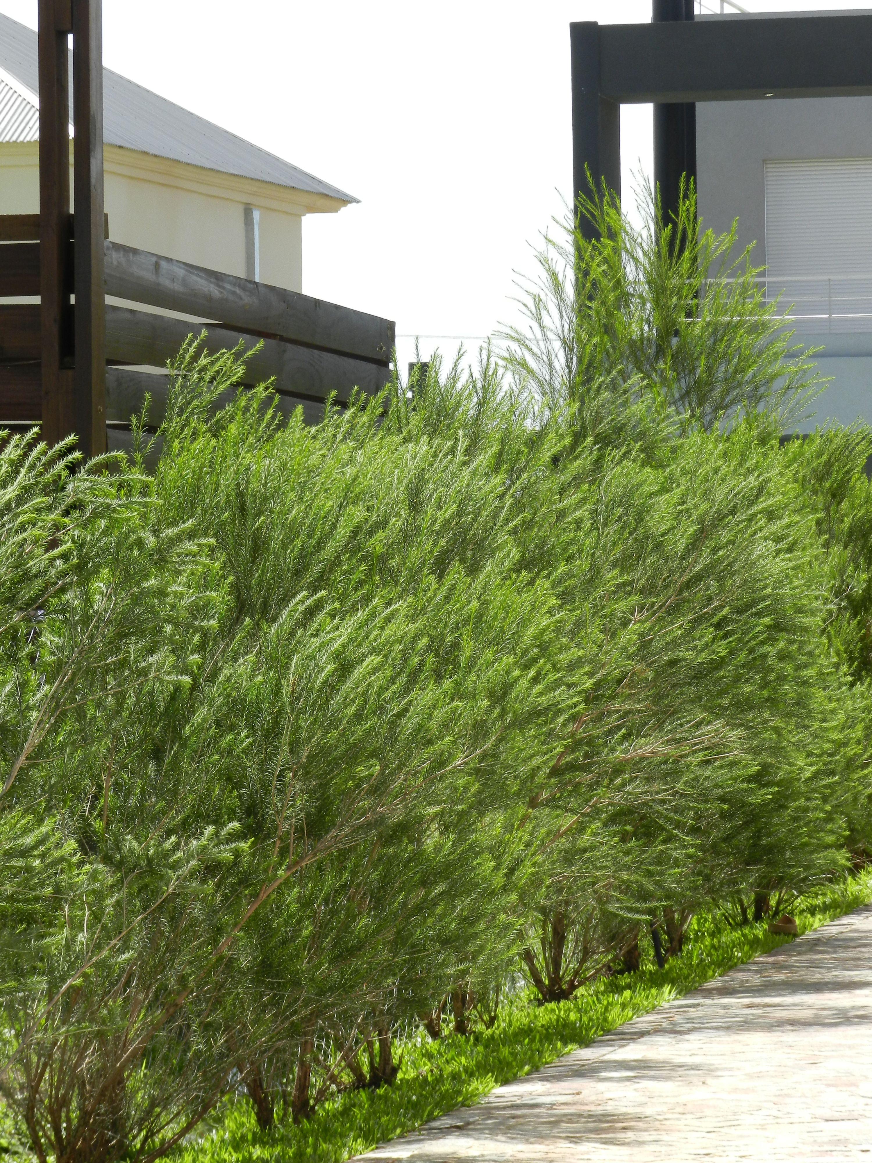 Cerco perimetral verde arbustos pinterest verde for Arbustos en jardines