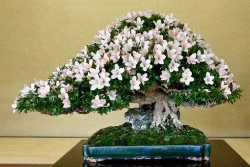 Azalea bonsai buscar con google bonsai pinterest bonsai and of all the flowering bonsai azalea bonsai are perhaps the best knowney are one of the most popular bonsai in japan mightylinksfo