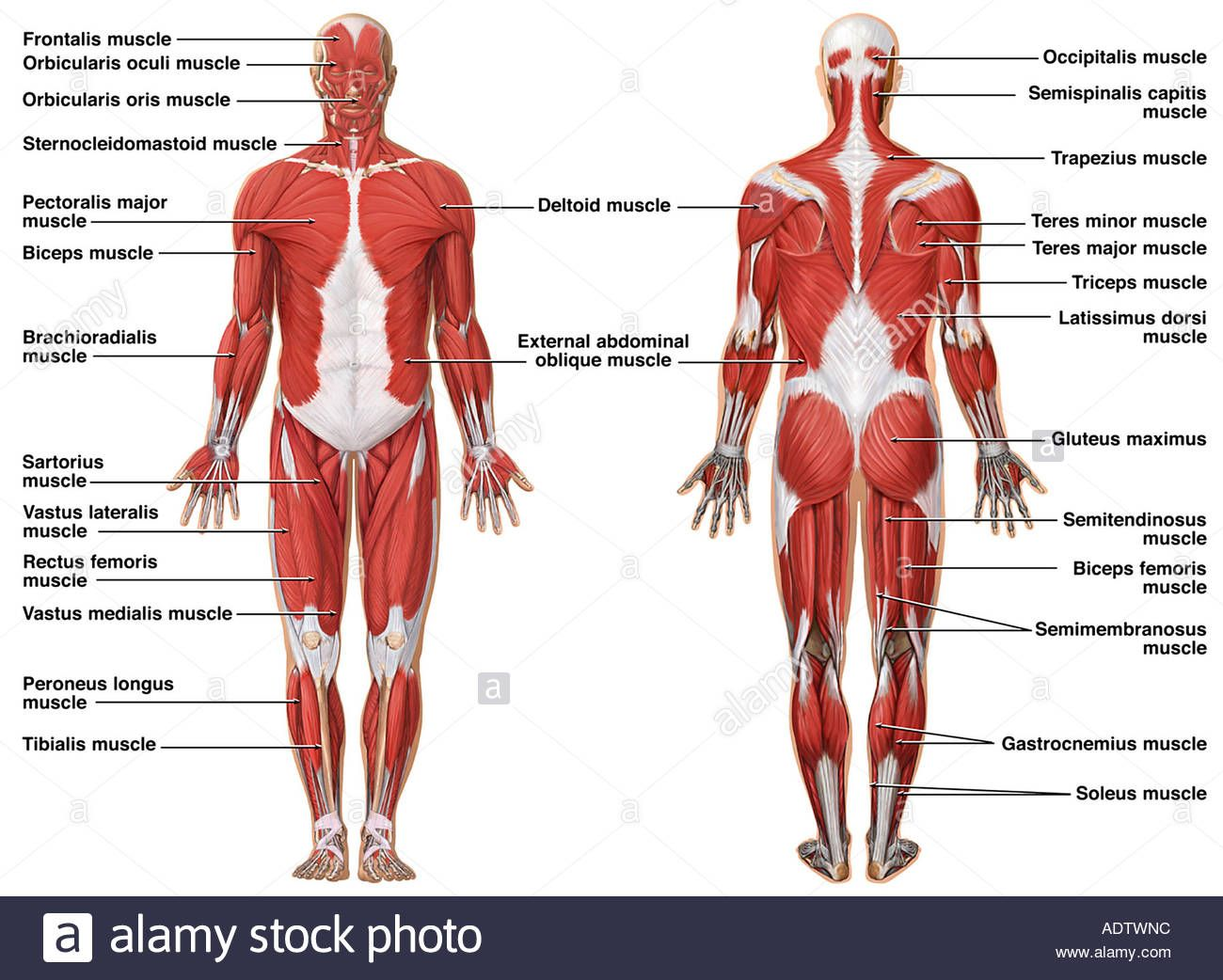 Muscular System Pictures Human Anatomy Drawing Muscular System