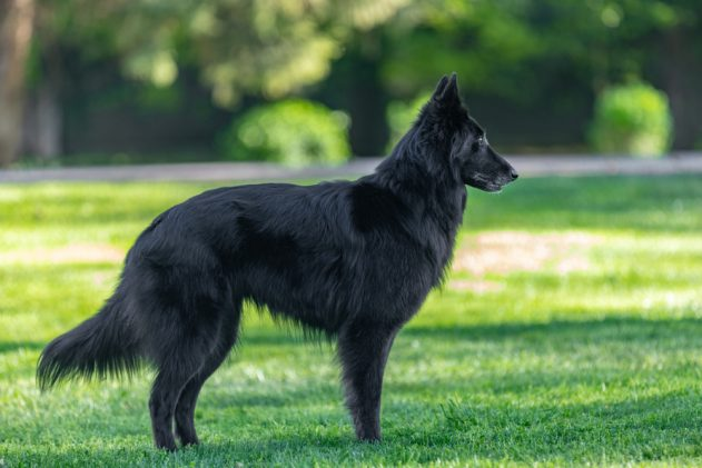 Groenendael Petguide In 2020 Dog Instagram Captions Large Dog Breeds Dogs