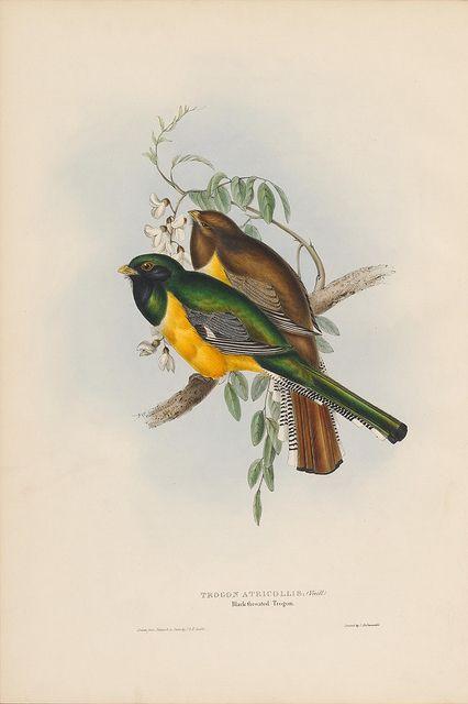 Trogon Atricollis Black Throated Trogon Flickr Photo Sharing Bird Prints Bird Illustration Art