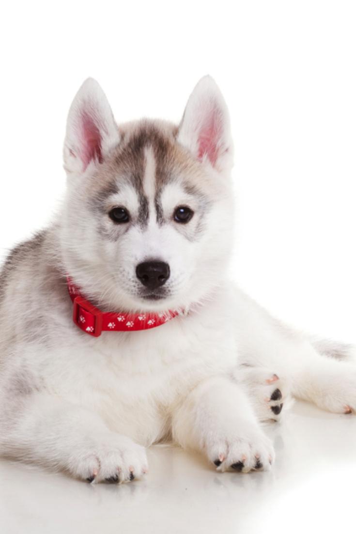 Newborn Siberian Husky Puppy Siberianhusky In 2020 Siberian