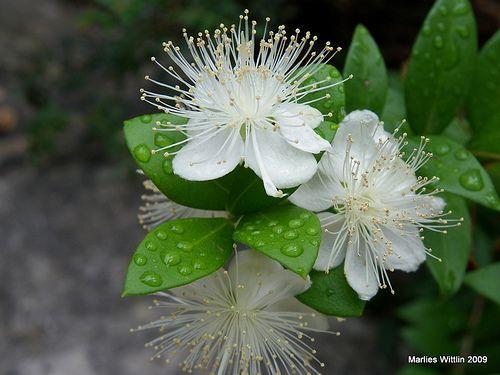 Myrtle Flowers By Marlis1 Via Flickr Myrtle Flower Planting Flowers Flowers