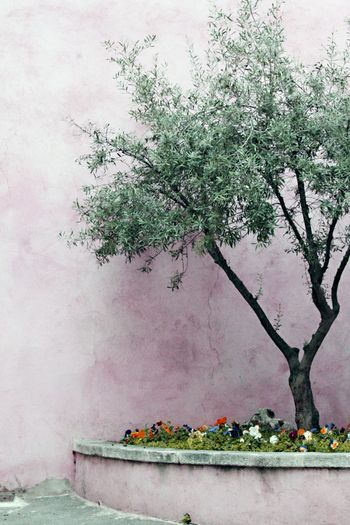 Living in France, olive tree surrounded by pansies with a light pink background, so pretty