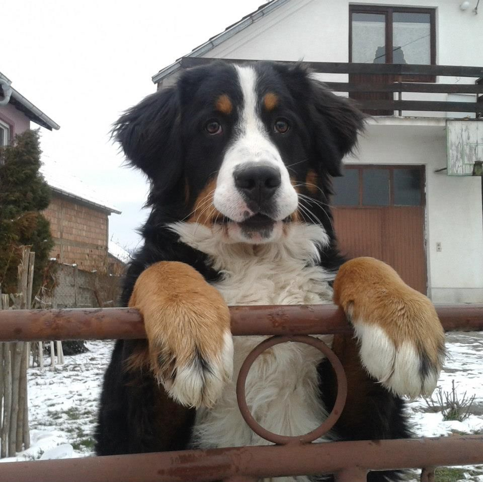 just look at those giant paws Bernese mountain dog