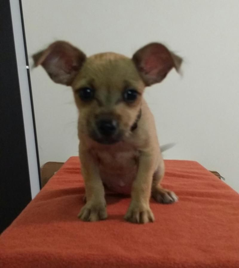 Meet Sweet Baby Girl SUSIEQ Tiny 3lb Chiweenie 220, a