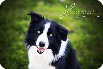 Corning Ca Border Collie Mix Meet Cinch A Dog For Adoption Http Www Adoptapet Com Pet 12461164 Corning Cal Dog Adoption Border Collie Border Collie Mix