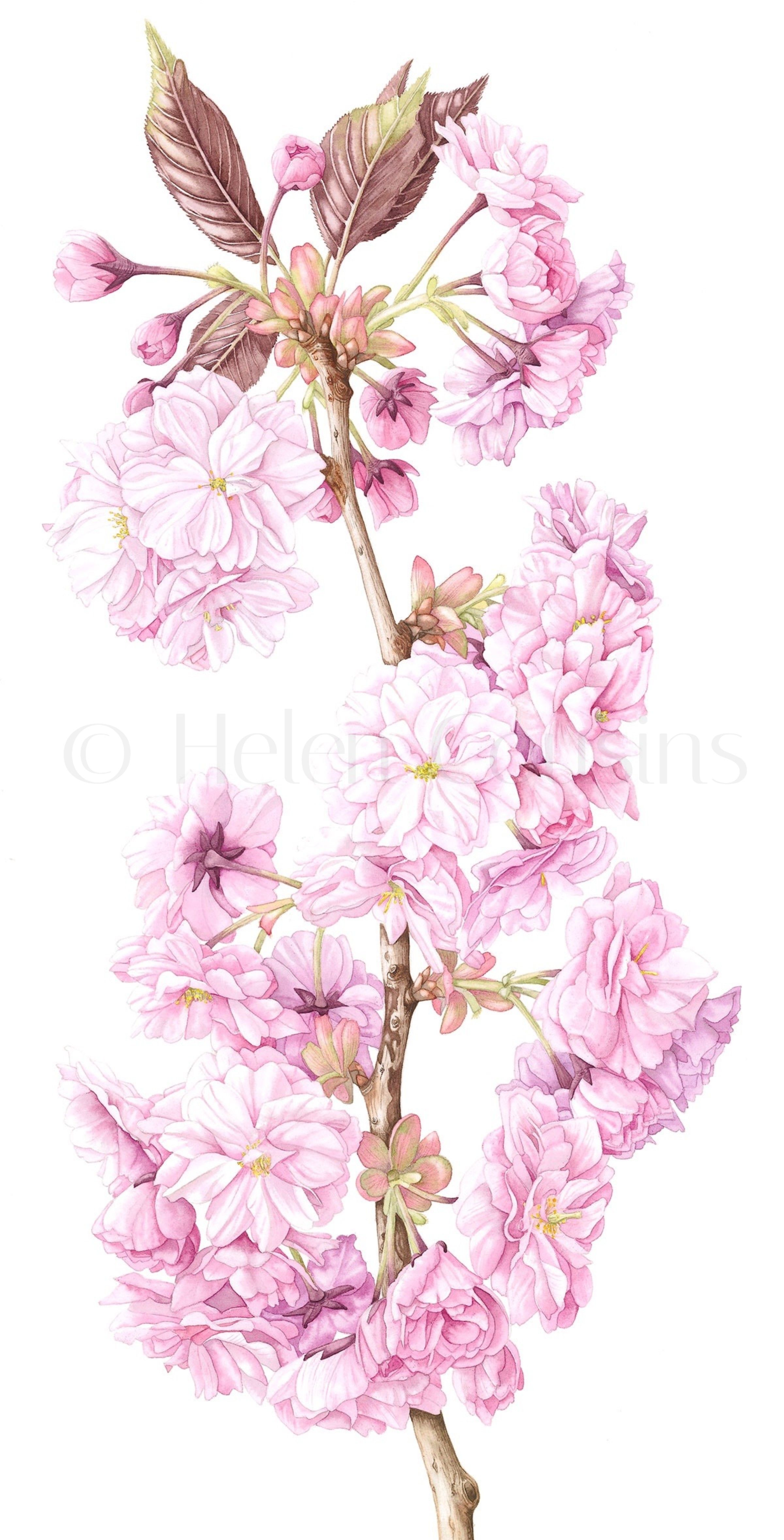 Cherry Blossom Cropped Helen Cousins Botanics Cherry Blossom Watercolor Cherry Blossom Drawing Cherry Blossoms Illustration