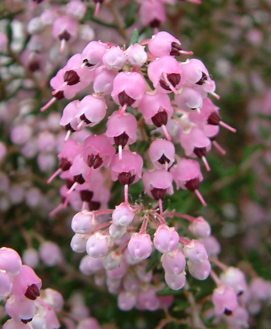 Channelled heath erica canaliculata shrub or small tree 4 to 6 ft channelled heath erica canaliculata shrub or small tree 4 to 6 ft tall covered in clusters of small pink flowers mightylinksfo