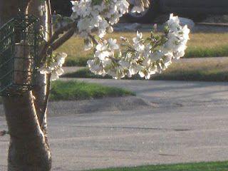Japanese Yoshino Cherry Tree