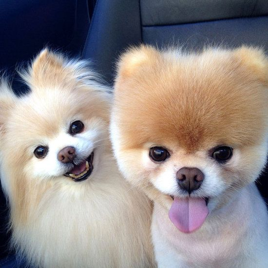 Download Pom Canine Adorable Dog - 6e32b8779b2494d76622210818a232f8  Graphic_714013  .jpg
