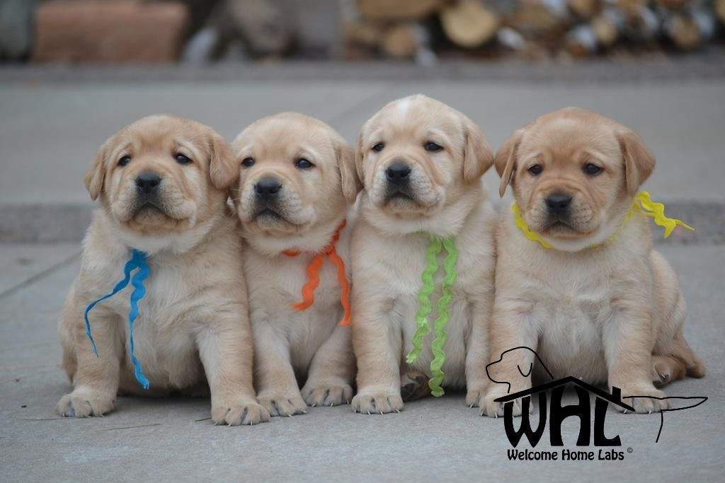 Labrador Puppies For Sale Mn Lab Puppies Minneapolis Lab Pups Mn Welcome Home Labs Located In Minn Labrador Puppies For Sale Lab Puppies Labrador Puppy