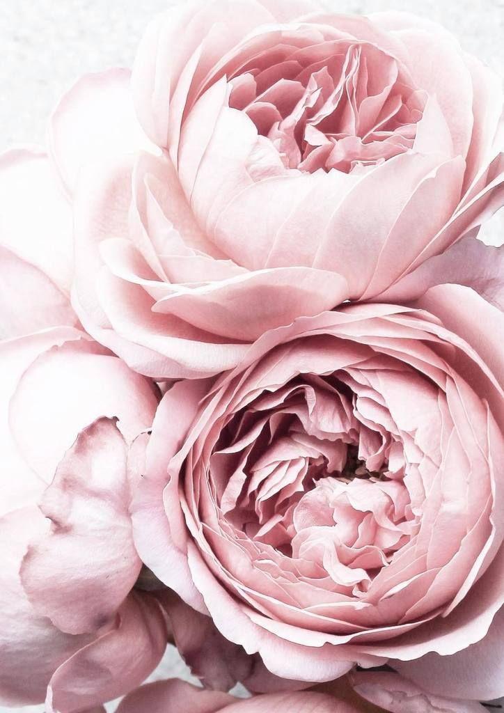 Peonies Print Blush Pink Flower Photo Poster Print Arcade Flowergardening Rosa Blumen Hintergrundbilder Blumen Bunte Blumen