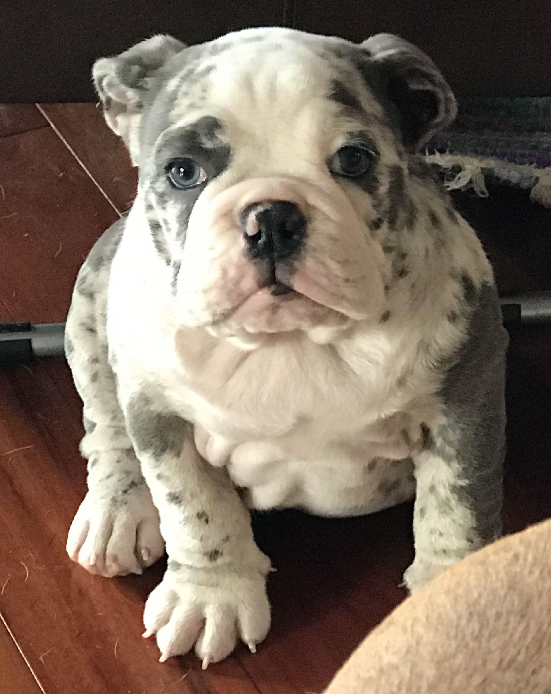 merle baby | my bulldogs ❤ | bulldog puppies, dogs, dogs