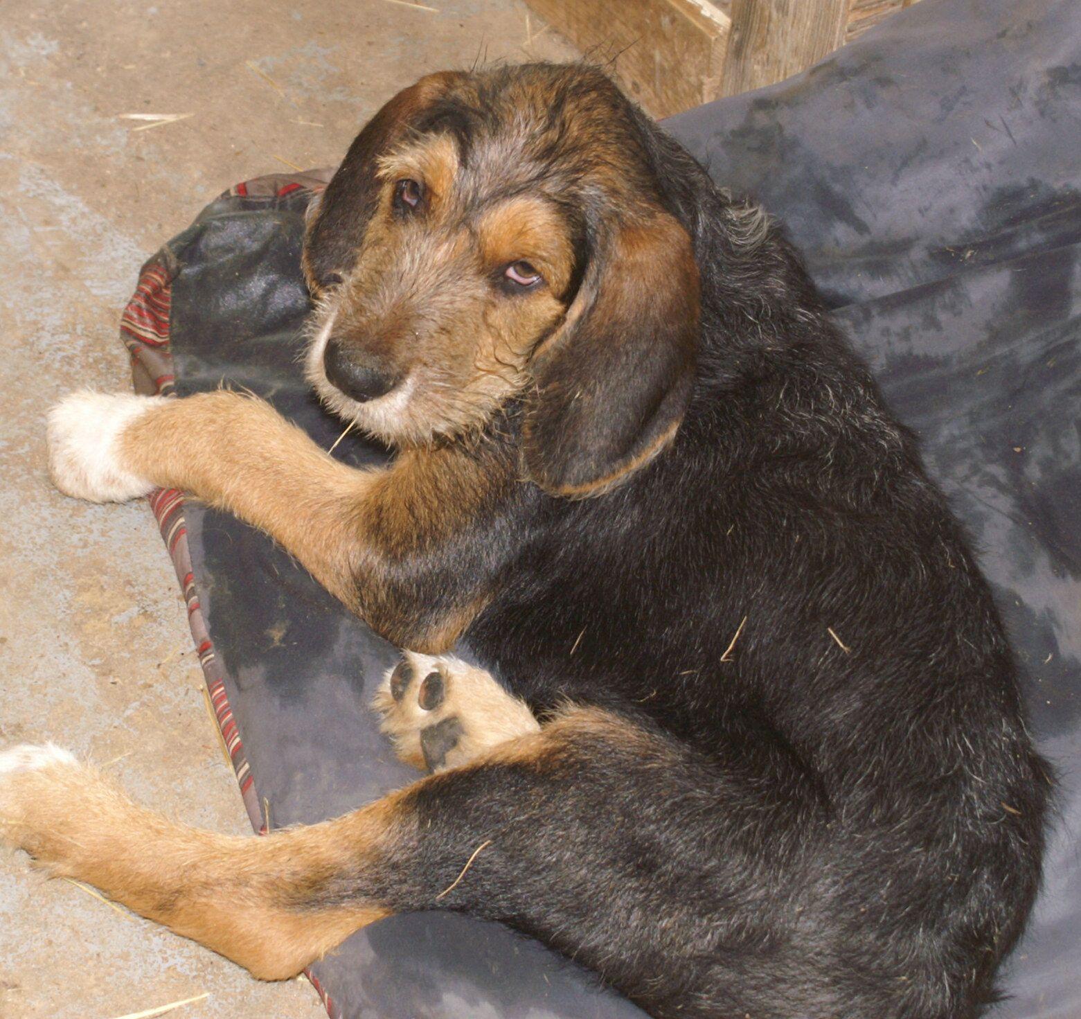 Otterhound Puppy   Puppies