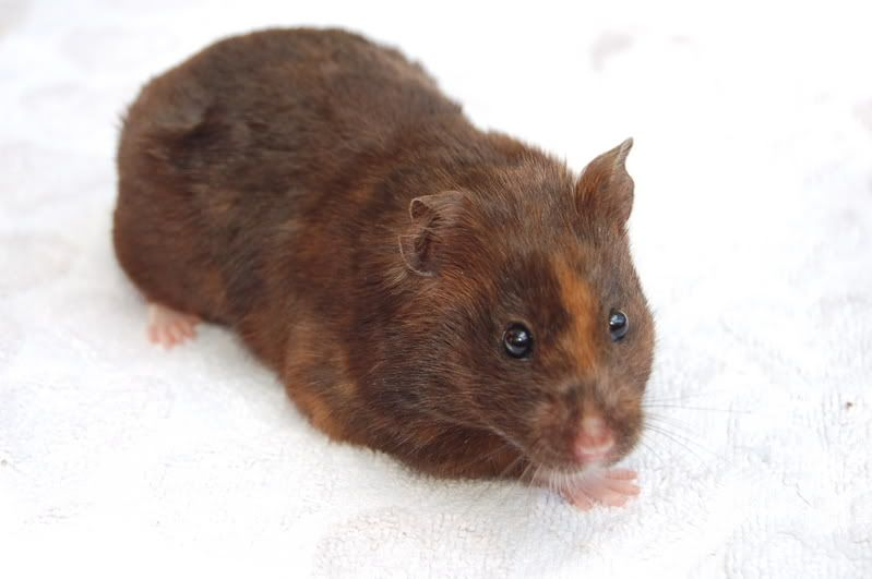 Chocolate Tortoiseshell Syrian Hamster Syrian Hamster Hamster Cute Animals