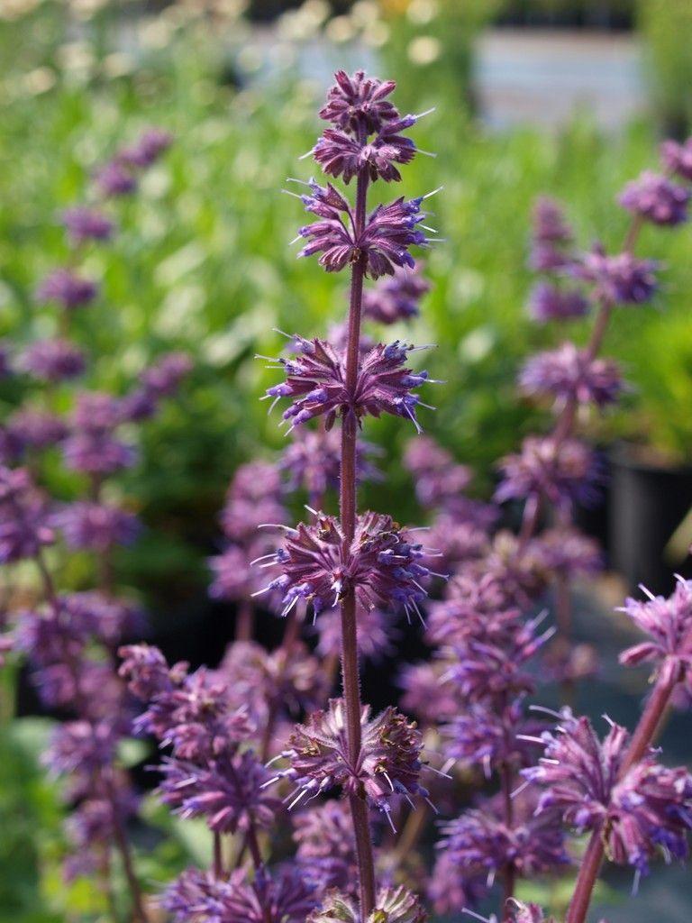 Salvia Verticillata Purple Flowers Perennials Garden Pinterest