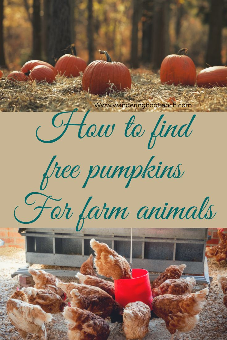 How to find free pumpkins for farm animals Chickens